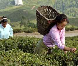 Arunachal Tea Equals Assam Tea Record.jpg