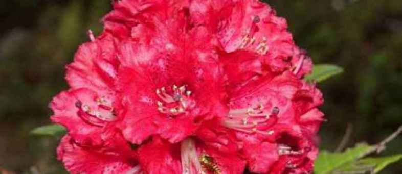 health_benefits_of_pahadi_red_buransh_flower_.jpg