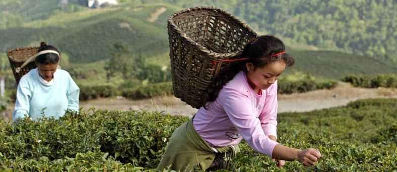 Arunachal Tea Equals Assam Tea Record.jpg