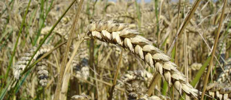 Wheat boom will add new fuel in the first quarter of 2020.jpg
