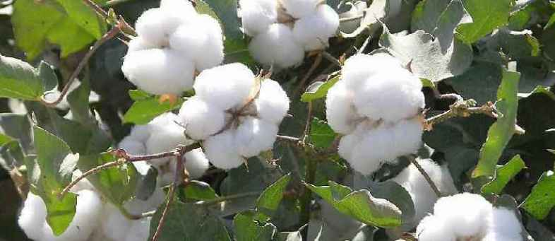 India's Cotton production down 1% to 28.3 million bales due to low rainfall Fitch.jpg