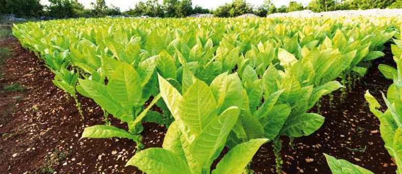 Rs 11.79 cr Indian tobacco sector employs 4.5 cr people Assocham.jpg