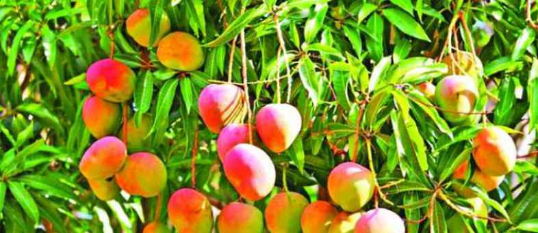 Success story of a farmer who has been cultivating mangoes organically for years in 50 Vidya farms.jpg