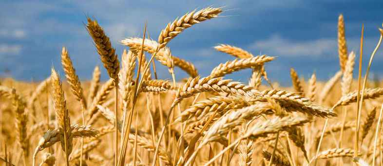 Rabi crop sowing on track, Coverage area risis 9.84 per cent till November 20.jpg
