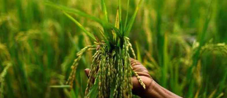 Govt procures Kharif crops at its MSP from farmers for over Rs. 33,951 crore (1).jpg