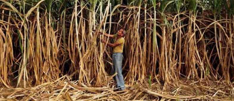 Maharashtra Sugar production may fall 39.2% on drought.jpg
