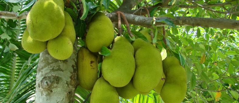 Jackfruit-.jpg