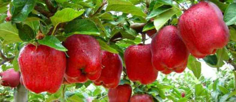 Govt to procure apples directly from growers in J&K, Payment by DBT.jpg
