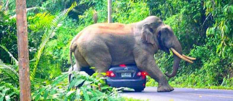 Khao Yai National Park - Elephant Tries To Sit On Moving Car With Tourists Inside It.jpg