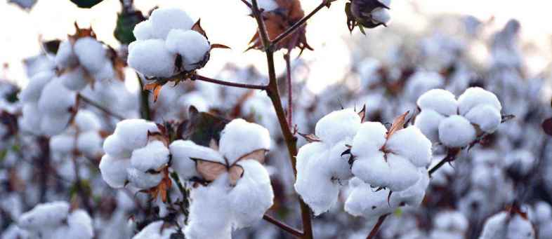 Global  Cotton ending stocks will fall in 6th consecutive year USDA.jpg