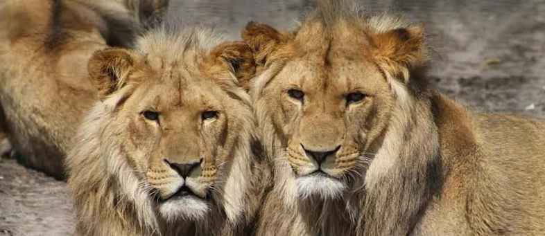 8 lions corona positive at zoo in Hyderabad, first case in India.jpg