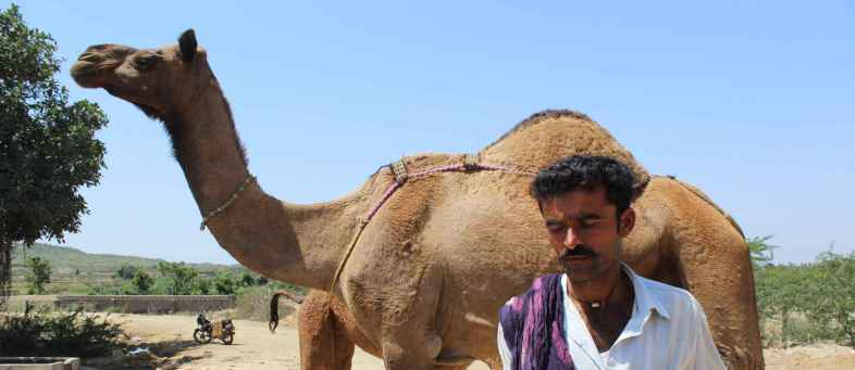 Camel Milk Cures Diabetes and TB ... Is This True ... Know What The Fact Is.jpg