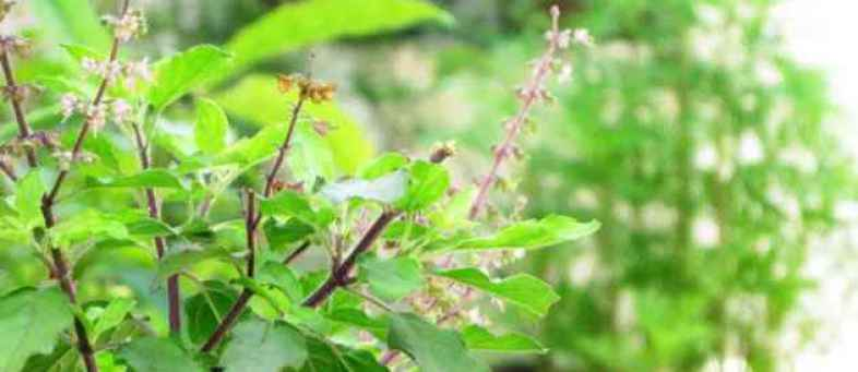 know the medicinal uses of tulsi it may be harmfull in this. ...jpg