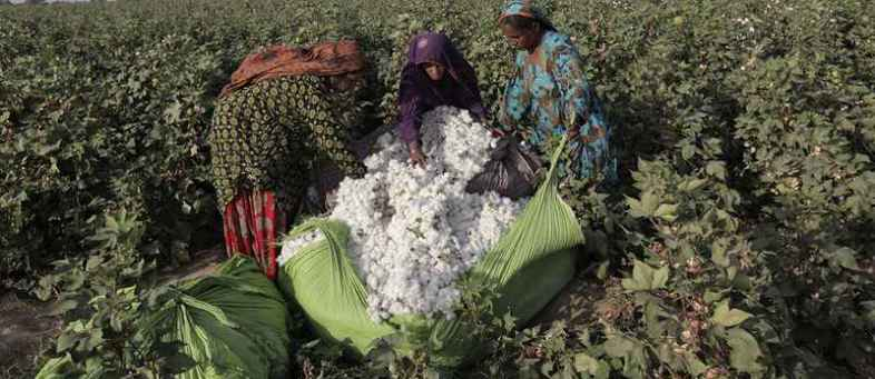 CAI lowered 4 lakh bales the cotton production estimate for Gujarat.jpg